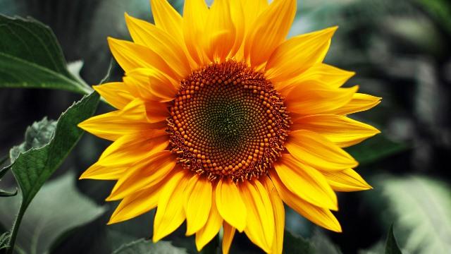 Фунгіцид для соняшника