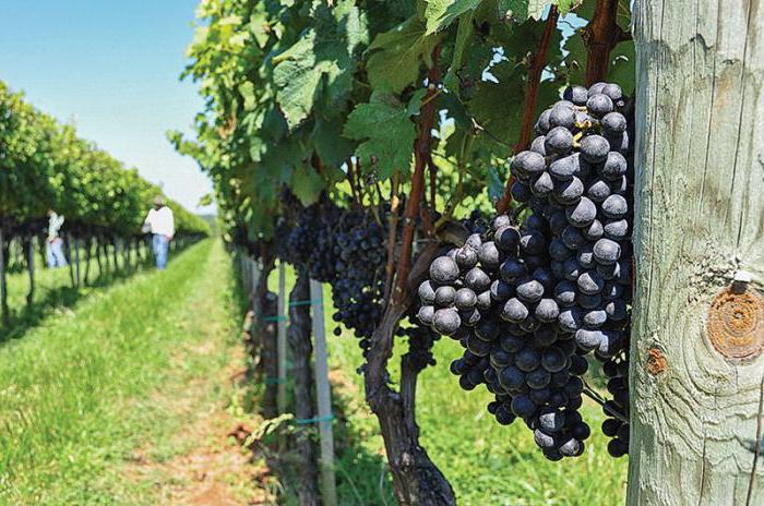 Инсектицид для винограда
