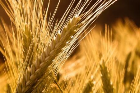 Микроудобрения для пшеницы