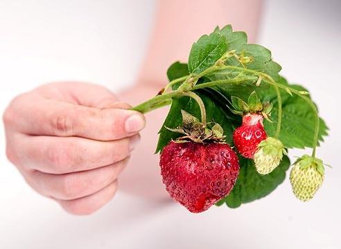 Захворювання полуниці